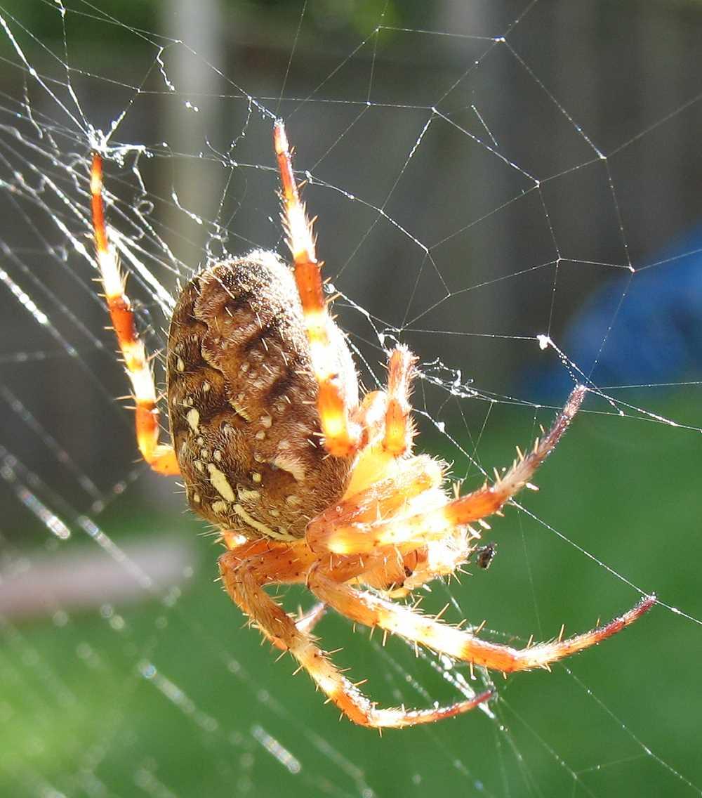 20061001 Garden Spider.jpg