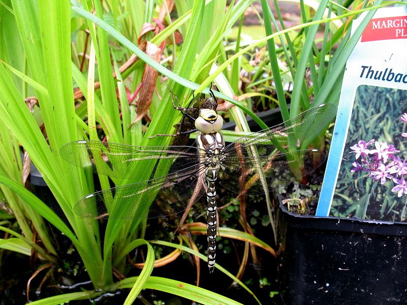 Dragonfly%20Emerging%2020110814%201.jpg