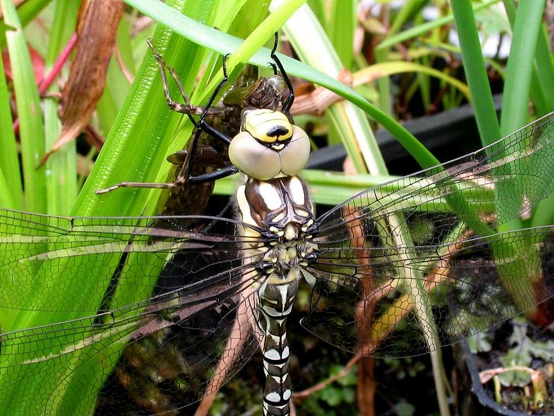 Dragonfly%20Emerging%2020110814%202.jpg